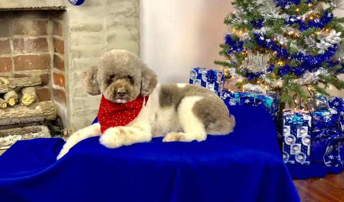 [Image: With a fresh cut and style, this poodle is just adorable! ]